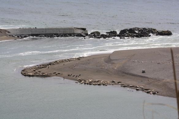 Russian River Elephant Seals