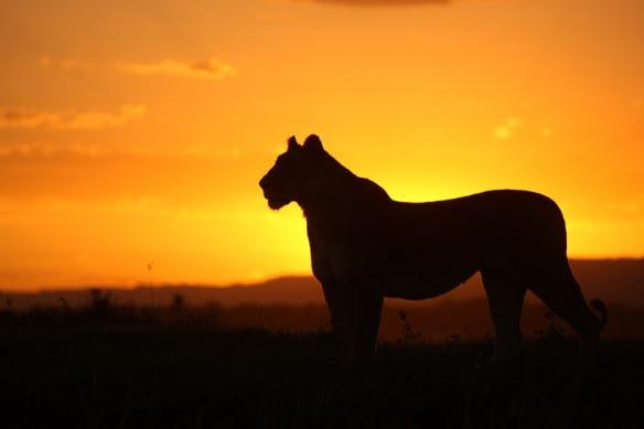 mara_lioness